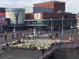 Kudde van 250 schapen trekt door centrum Zaandam