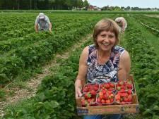 Bij Marianne en Jan Geurts kun je al 43 jaar je eigen aardbeien plukken in Ottersum