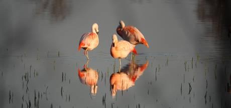 De roze pechvogels van Zwillbrock: het broedseizoen is weer mislukt