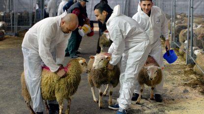 Europees Hof van Justitie beslist: Vlaams verbod op onverdoofd slachten op tijdelijke slachtvloeren houdt stand