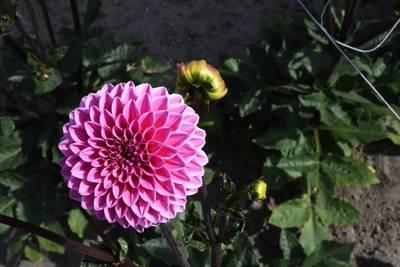 Tekort aan roze dahlia's voor Zunderts corso