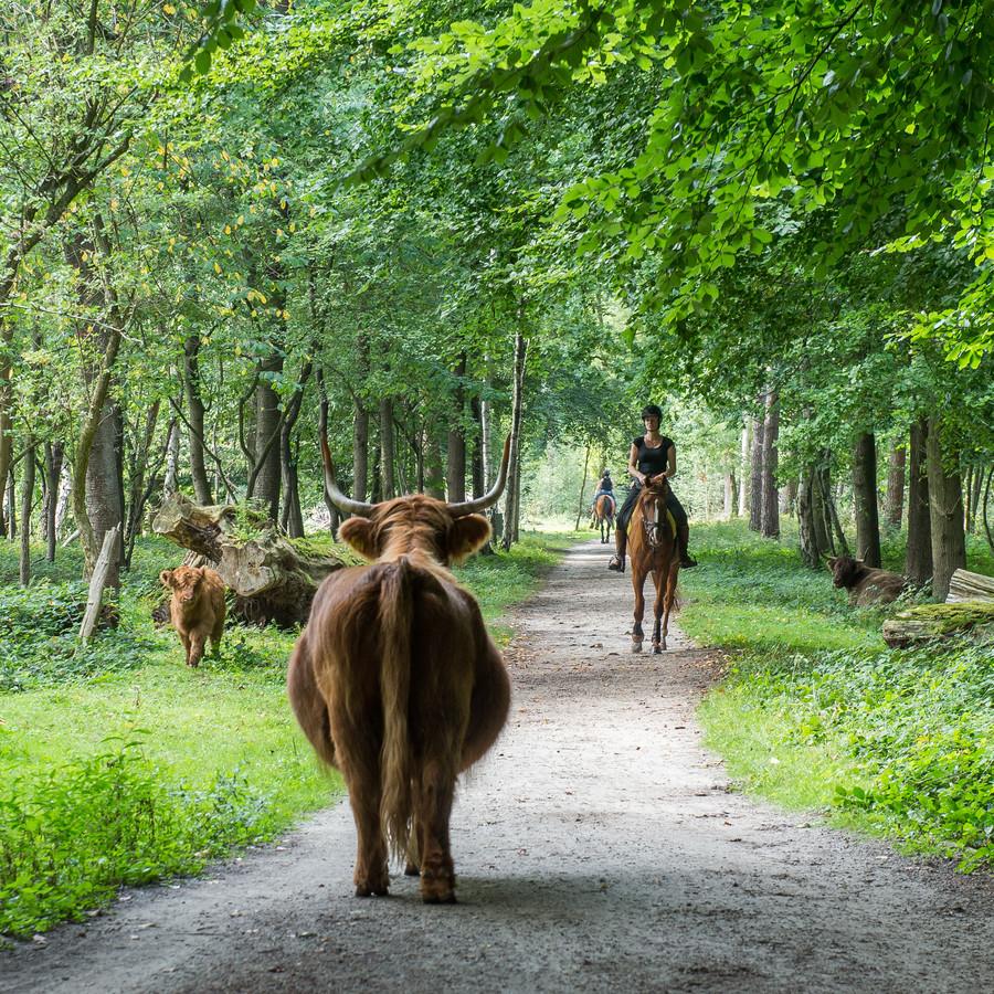 Schotse Hooglanders in het natuurgebied bij Dorst.