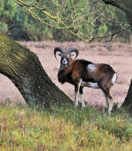 Moeflon is een jaar spoorloos op de Noord-Veluwe: Uitgeroeid door de wolf?