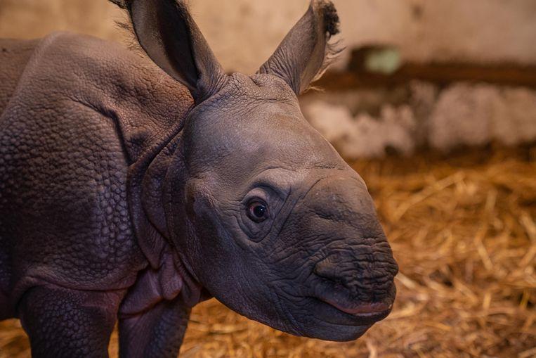 De zoo van Planckendael is blij omwille van de geboorte van dit vrouwelijke neushoornjong. Een naam heeft de nieuwe aanwinst nog niet.