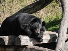 De beren verliezen hun stekkie in Anholt