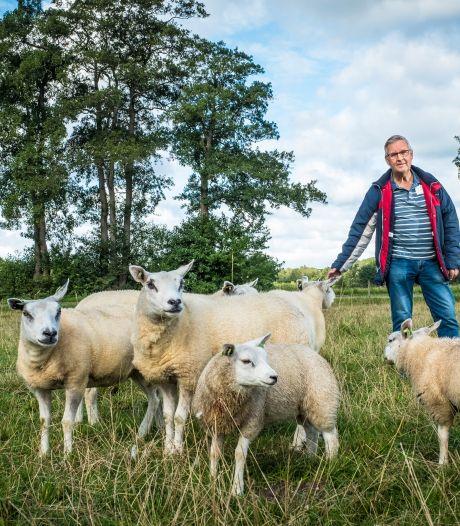 Onderzoek bevestigt: 16 bij Epe gedode schapen werden gegrepen door wolf