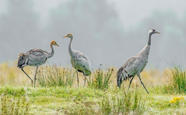 Kraanvogels kunnen weer uit de voeten in gebieden waar de natuur de ruimte krijgt, zoals het Fochteloërveen. Beeld Buiten-beeld