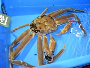 Le crabe qui valait 5 millions de yens