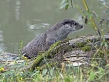 Otters Nieuwkoopse Plassen richting  Aarlanderveen