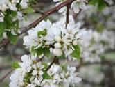 21 april: Bloesemfietstocht door de boomgaarden van Kapelle