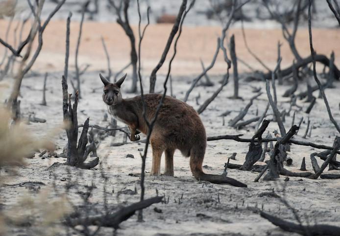 Een wallaby op Kangaroo Island.