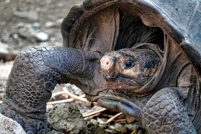 De schildpad werd gevonden in het Galapagos Nationaal Park op het eiland Santa Cruz.