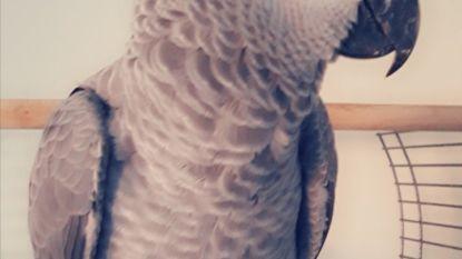 Vermiste papegaai teruggevonden