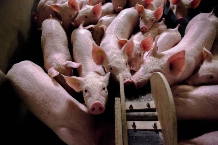 Het mestoverschot is maar een van de problemen waar de veehouderij mee worstelt. Doorgaan op de huidige weg leidt niet tot oplossingen. foto Sander Koning/anp