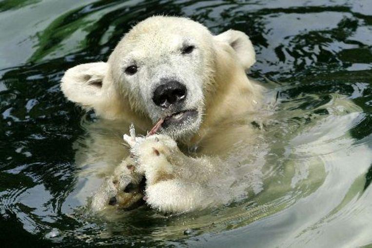 Een ijsbeer in dierentuin Ouwehands. ANP Photo Beeld