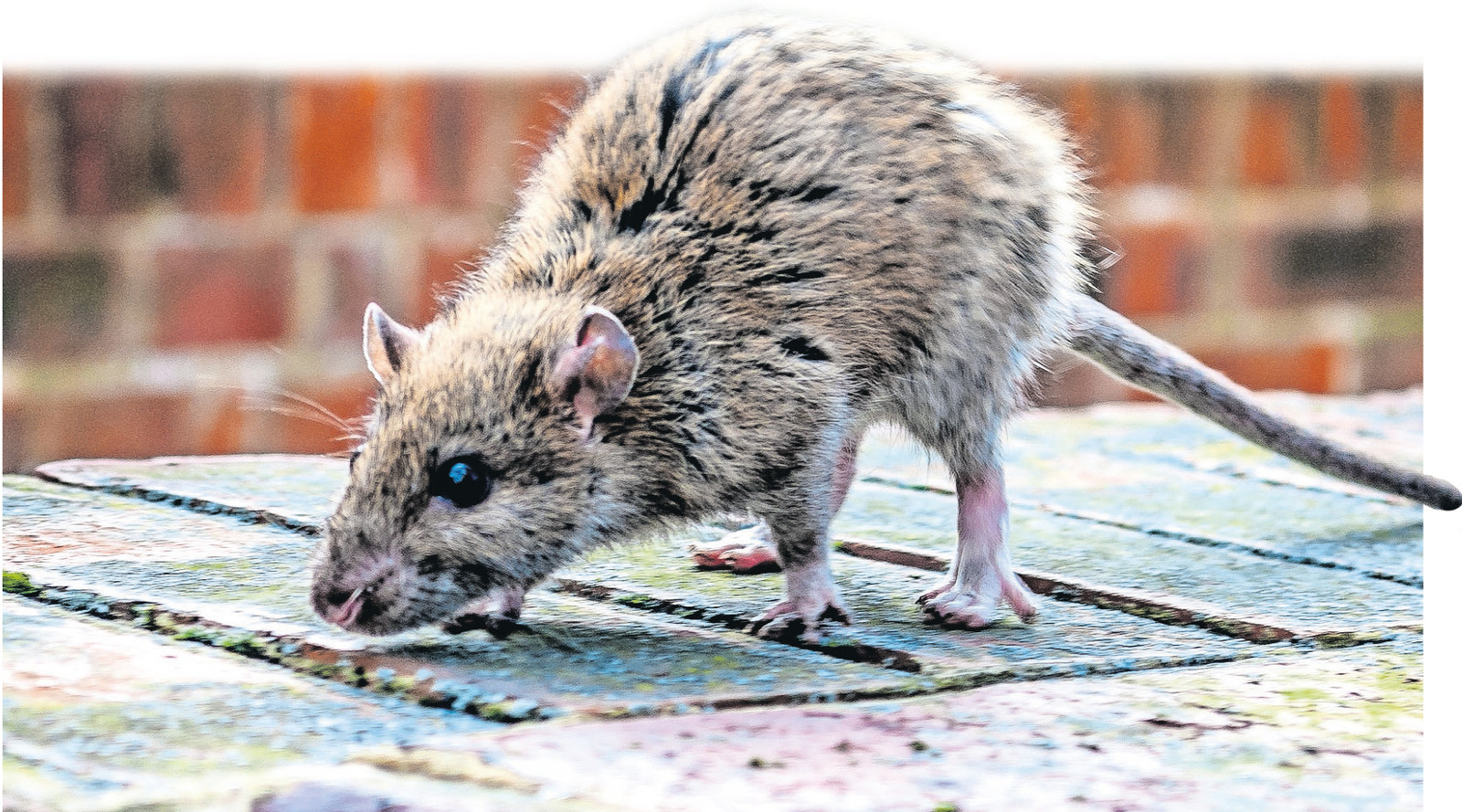 De bruine rat