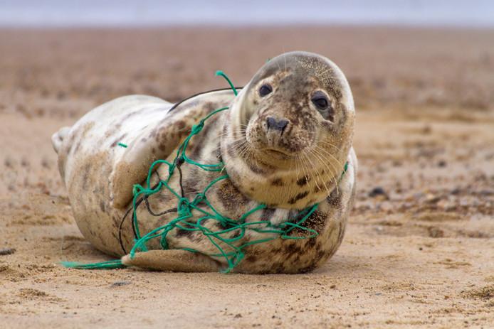 Een zeehond verstikt in een visnet