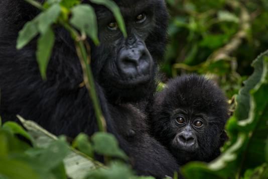 Berggorilla's in de Democratische Republiek Congo. Ze zijn erg afhankelijk van de temperatuur in hun leefgebied. Aangezien ze in de bergen wonen, is temperatuurstijging een groot probleem, aangezien ze niet onbeperkt op grotere hoogte kunnen leven als het steeds warmer wordt.