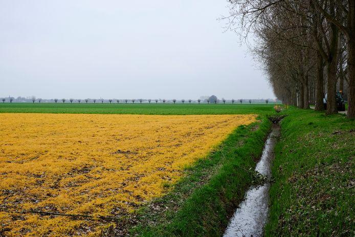 Gele akkers tussen Raamsdonk en Oosteind door gebruik van Roundup