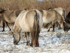 Politie: aangifte dierenleed Oostvaardersplassen heeft geen zin