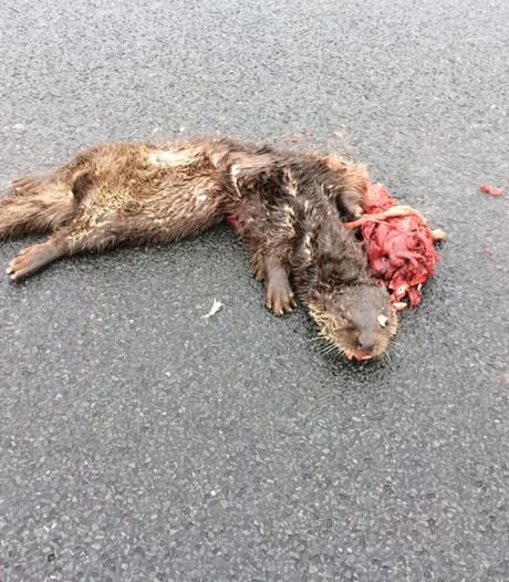 Dode otters gevonden in Flevoland
