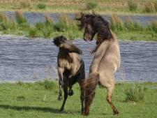 Konikpaard dodelijk gewond door tak tijdens stoeipartij met soortgenoot