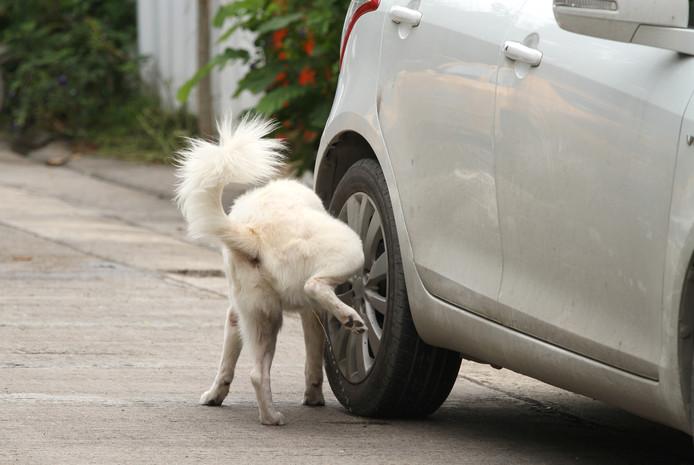 Foto ter illustratie. Hond plast tegen auto.