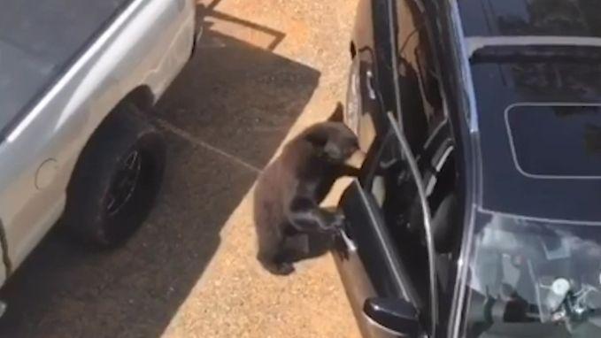 Nieuwsgierige beer kruipt in geparkeerde auto