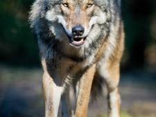 Provincies betalen wolfschade voorlopig nog