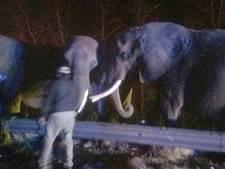 Drie olifanten gestrand op snelweg na brand