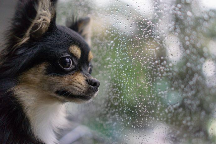 (Illustratiebeeld) Een chihuahua. Een hondje van dit ras stierf in een auto.