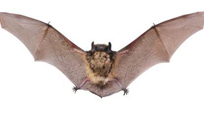 Drongengoed is paradijs voor vleermuizen: negen verschillende soorten geteld