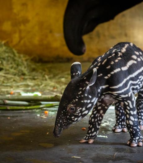 VIDEO. Pasgeboren babytapir Antwerpse Zoo is een meisje