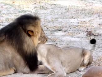 Doder leeuw Cecil spreekt voor het eerst