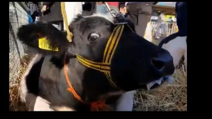 Op social media reageren mensen verontwaardigd op beelden van deze koe op de Leste Mert in Druten.