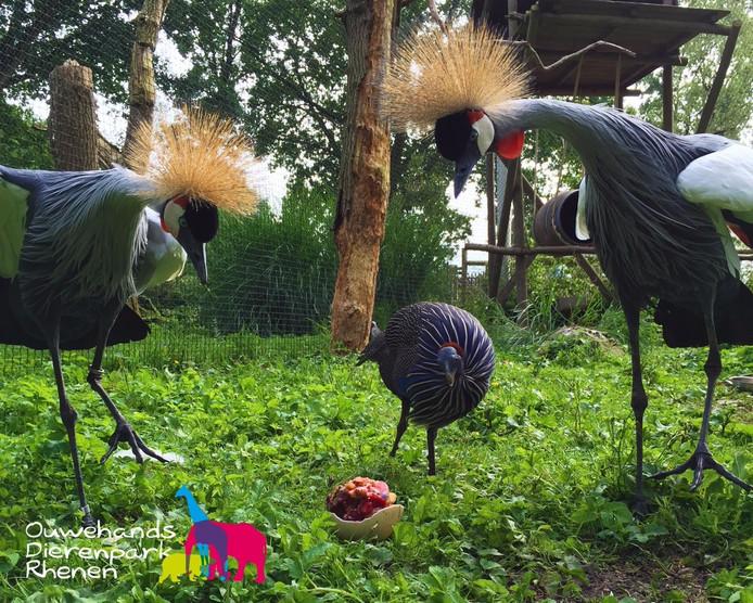 IJs-ei voor kroonkraanvogels in Ouwehands.
