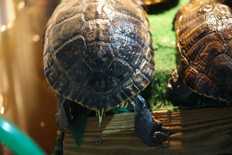 Het dier moet vanaf nu tot het sterft blijven bij SOS Reptiel in Houtave, want de soort is verboden sinds augustus en adoptie is niet meer mogelijk.