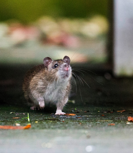 PvdD boos om tweet gemeente: noem meeuwen, duiven en ratten geen ongedierte