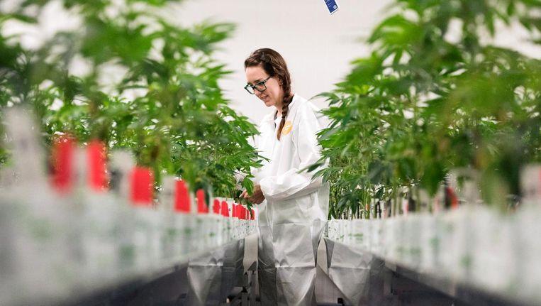 De productie manager van Bedrocan checkt de medische marihuanaplanten. Beeld Hollandse Hoogte