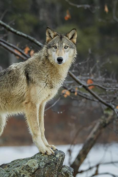 Wolf wéér gespot op Veluwe, bij de Heerder schaapskooi