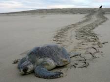 Dood van ruim 100 bedreigde zeeschildpadden stelt Mexico voor een raadsel