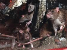 Rattenziekte duikt op bij hond uit Wierden
