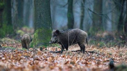 Twee everzwijnen met Afrikaanse varkenspest aangetroffen in Luxemburgs legerkamp