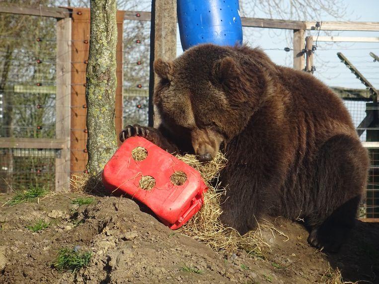 De drie beren uit dierenopvangcentrum De Zonnegloed beginnen wakker te worden uit hun winterslaap en genieten van de eerste lentezon.