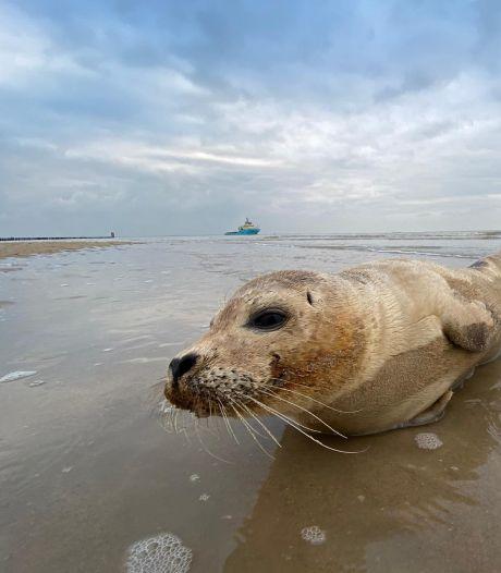 Agressieve zeehond door politie van de weg gehaald bij Brouwersdam
