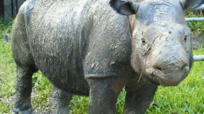 Sumatraanse neushoorn uitgestorven in Maleisië: Iman (25) geveld door kanker