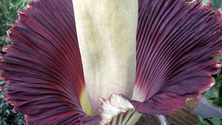 De Amorphophallus Titanum, de grootste bloem ter wereld, die in de bossen van Indonesië voorkomt. Beeld EPA