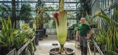 'Lijkenplant' opnieuw in bloei in Gentse Plantentuin, maar dit keer moet u de geur er zelf bij verzinnen