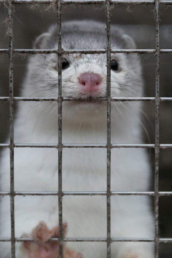 Per 1 januari 2024 is het houden van nertsen verboden. Nertsenfokkers zoeken een ander bestaan.