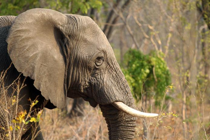 Een olifant in het Hwange National Park in Zimbabwe.